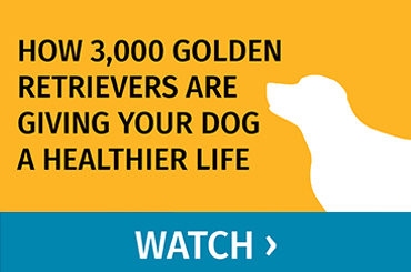 How 3,000 Golden Retrievers are Giving Your Dog a Healthier Life