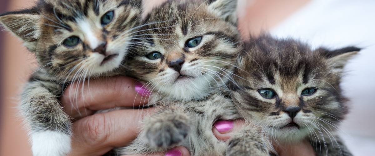 three kittens in a woman's hand