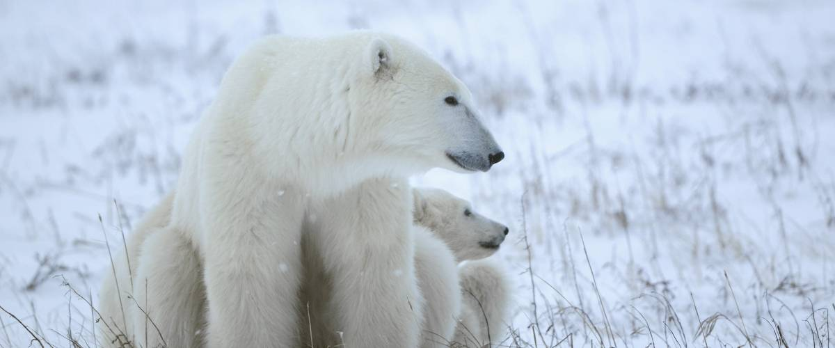 an adult polar bear and baby polar bear sit in the snow