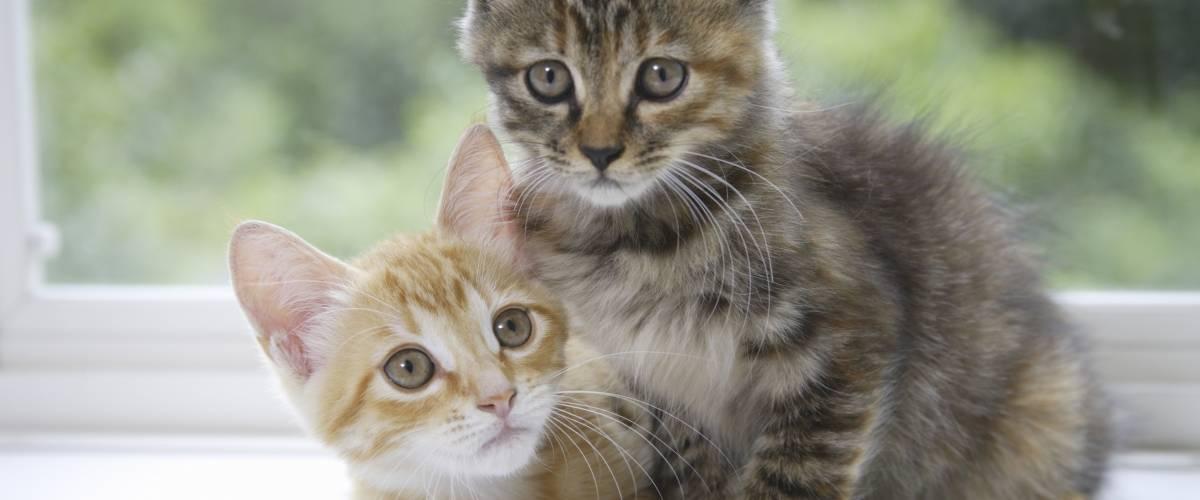 Cat Virus Fip – HD Wallpapers