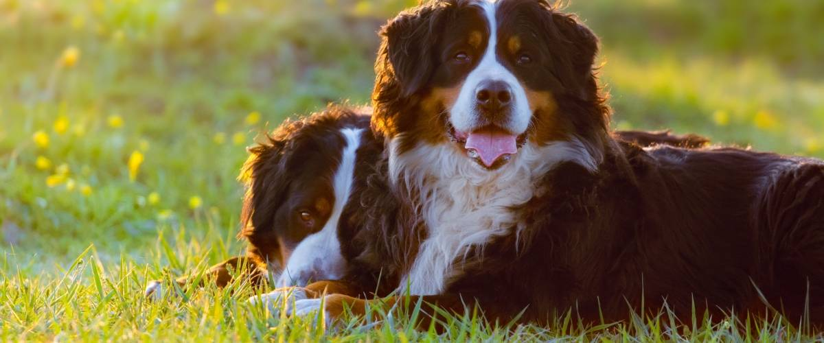 dog breeds with increased cancer risk