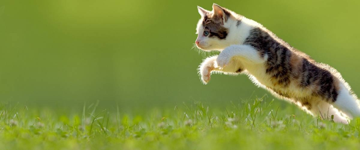 Cat_jumping in grass
