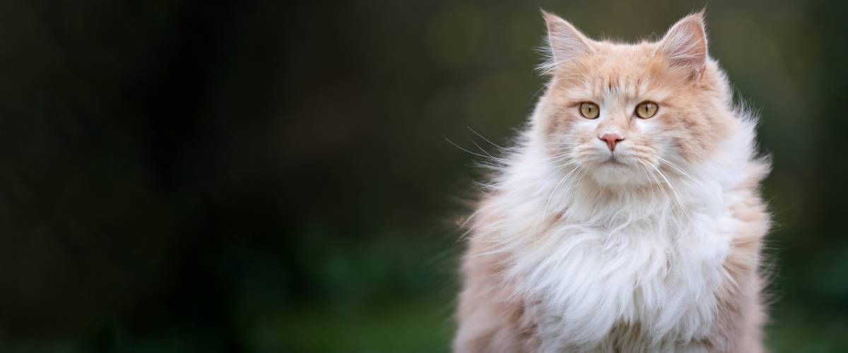 Long-Haired Cat