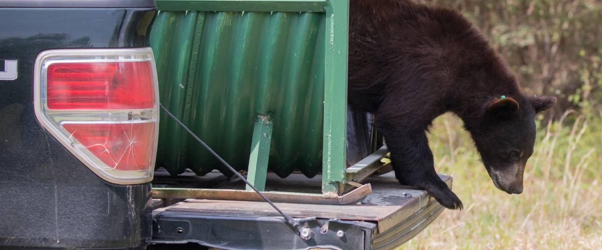 Bear with Mange Being Released