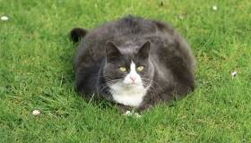 obese, gray cat laying in grass