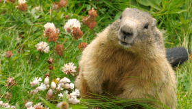 Wildlife_ground hog