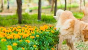 Golden Retriever lifting leg over a bush