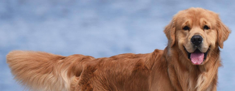 Golden Retriever Lifetime Study Morris Animal Foundation