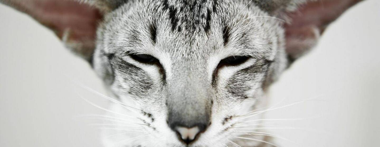 Cat with gray triangle ears