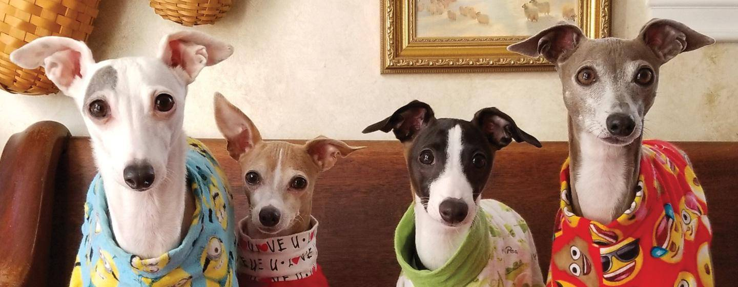 Dog_greyhounds in jammies