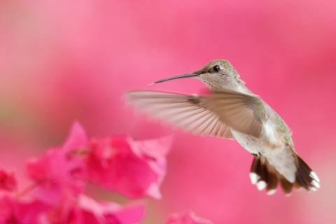 A hummingbird flies near pink flowers