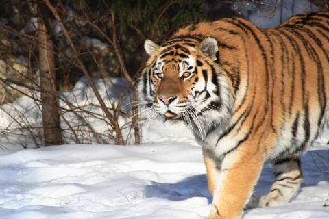 photo of a tiger walking in snow
