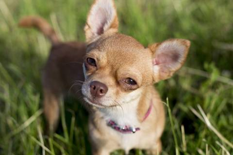chihuahua standing in grass looking at camera