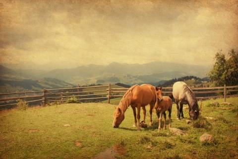 three horses grazing in a field
