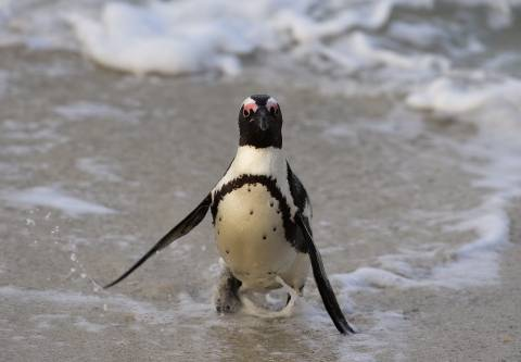 small penguin comes out of water onto a beach