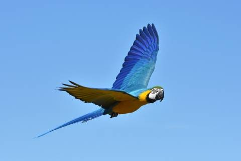 Macaw flying in the sky