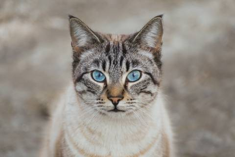tan cat with blue eyes looking at camera