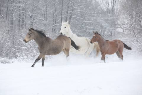 three horses running in the snow