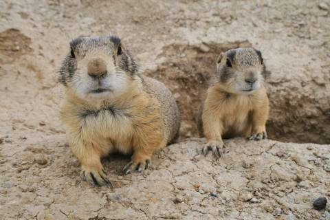 two prarie dogs coming out of a hole