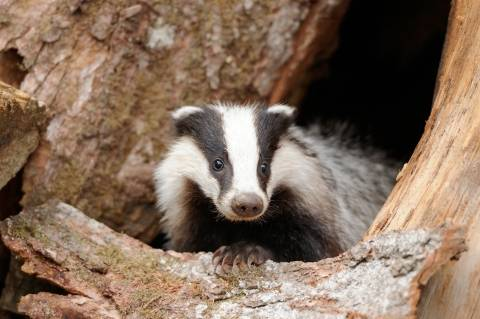 photo of badger coming out of a hole