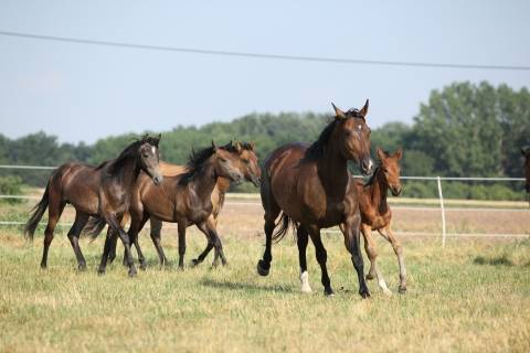 five brown horses running in a field