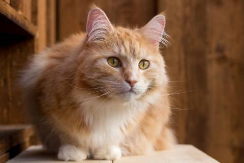 Cat_Maine Coon