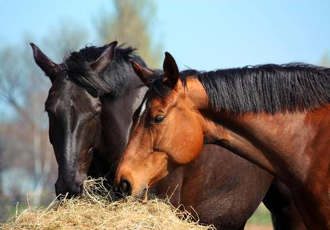 Black horse and brown horse eating hay