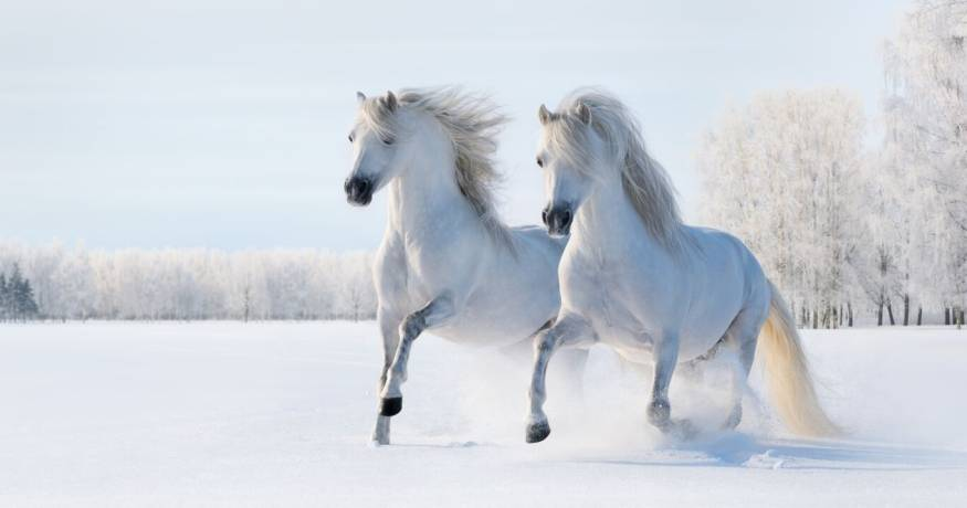 Horses_white in the snow